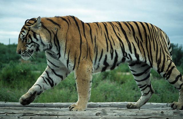 Tiger walking downhill tattoo - photo#24